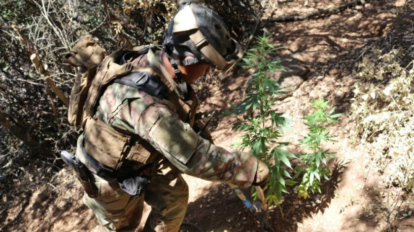 A California National Guard Counterdrug Task Force team member cuts down illegal marijuana plants at