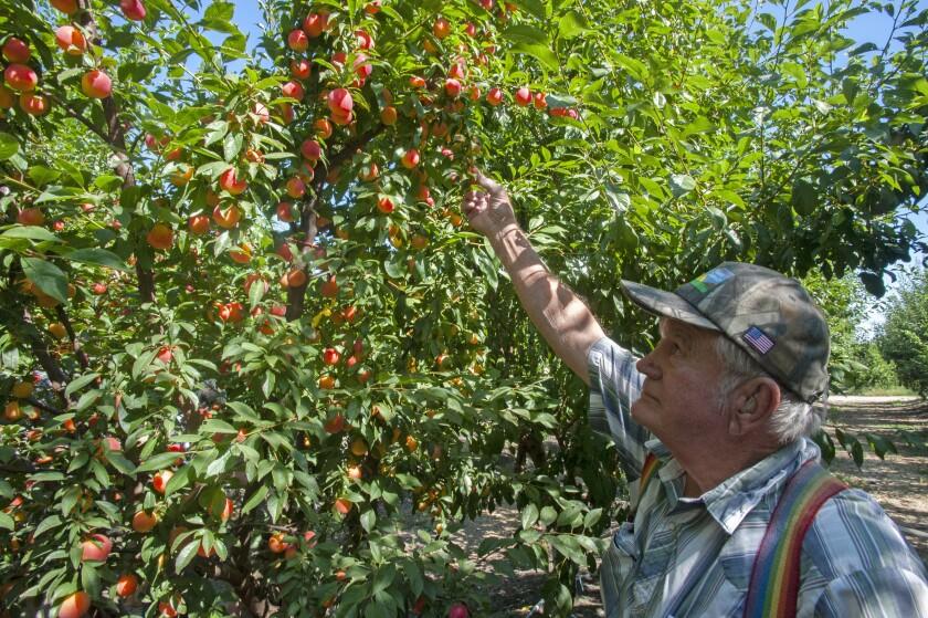 Floyd Zaiger examines an experimental plum-cherry hybrid  in Modesto