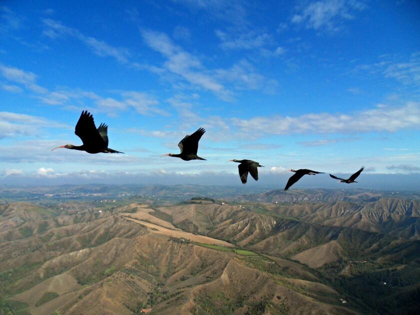 Northern bald ibises in V-formation flight