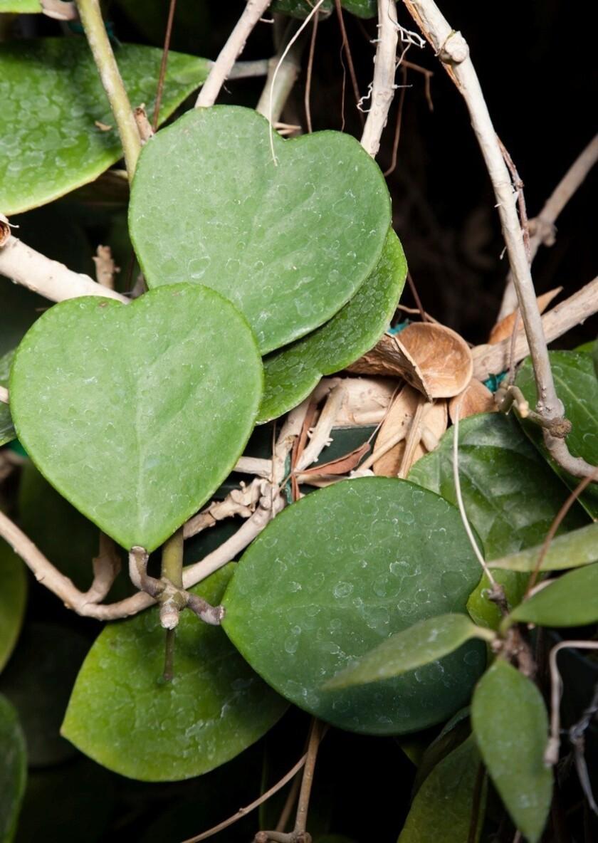 The hoya plant has waxy, heart-shaped foliage.