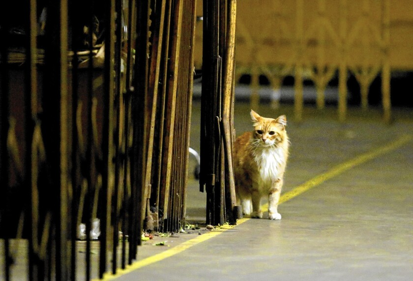 An orange tabby cat stands next to an expandable gate.