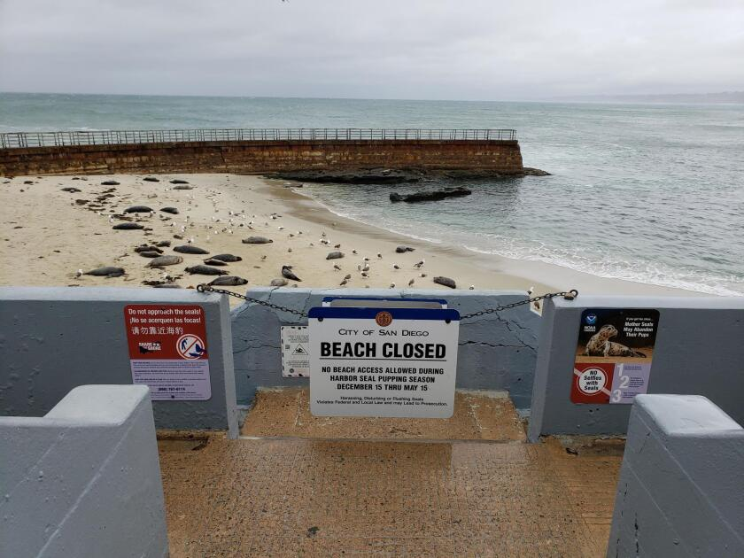 Children's Pool beach on Coast Boulevard in La Jolla is closed annually by way of a chain and sign during harbor seal pupping season, Dec. 15 to May 15.