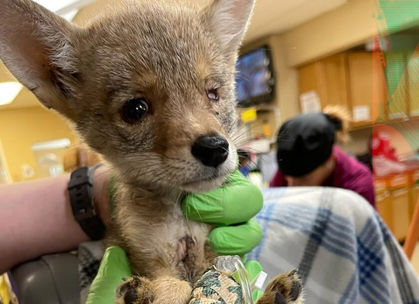 A hand holds up a coyote pup.