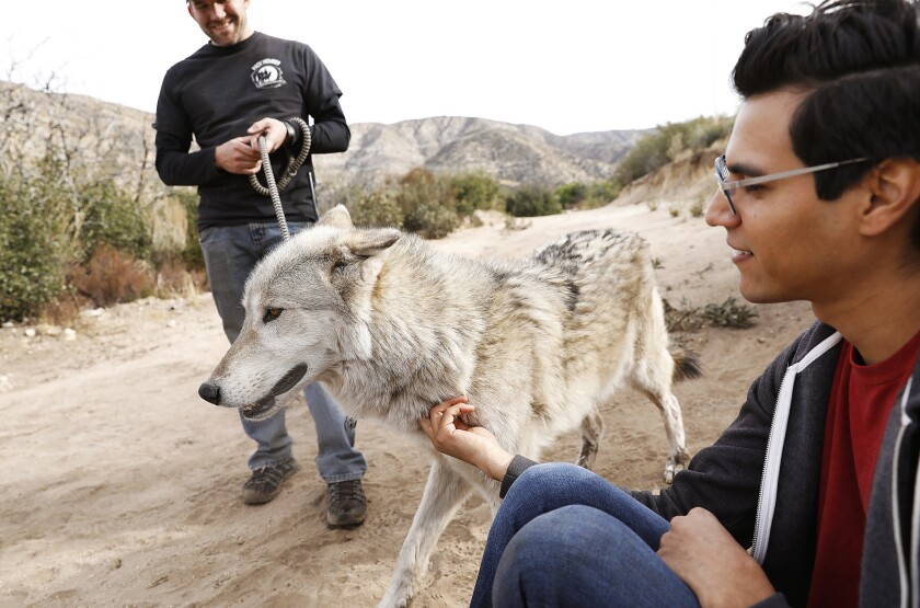 Walking with wolves in Palmdale