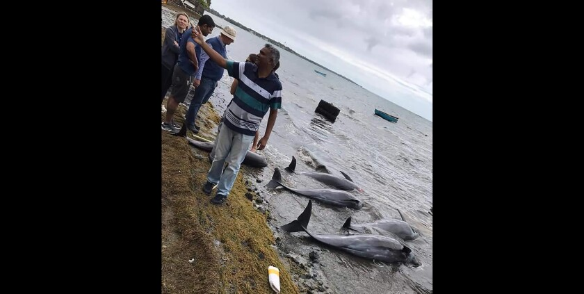 Dolphins lie dead on the shore on the Indian Ocean island of Mauritius