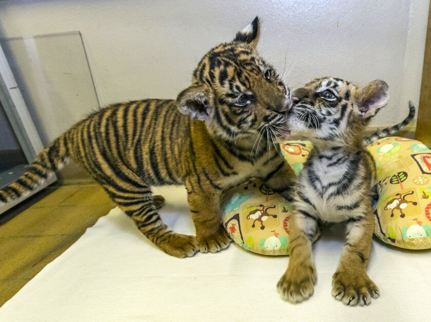 A 9-week-old Sumatran tiger cub (left) greeted an approximately 7-week-old Bengal tiger cub (right) at the San Diego Zoo Safari Park's Ione and Paul Harter Animal Care Center Monday, Sept. 11, 2017. The Sumatran tiger cub arrived from the Smithsonian's National Zoo in Washington, D.C. earlier today and was introduced to the Bengal tiger cub, currently residing at the Safari Park. The Sumatran tiger cub was born at the National Zoo on July 11 and was rejected by its mother a short time later. After numerous attempts to keep the mother and cub together, the animal care team decided it was in the cub's best interest to separate them. The Bengal tiger cub was confiscated by U.S. Customs and Border Protection officers Aug. 23 during a vehicle inspection at the U.S./Mexico border, and was broug