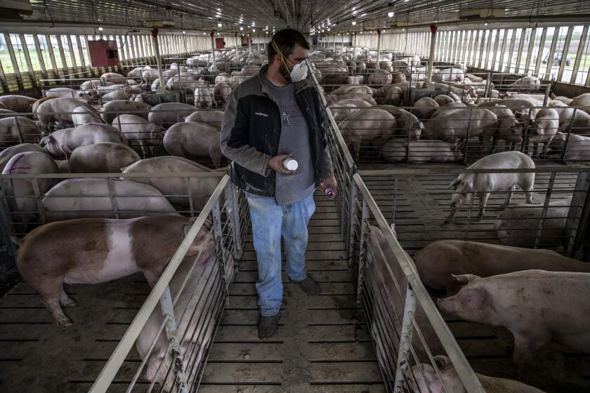 A farmer marks pigs for shipment.