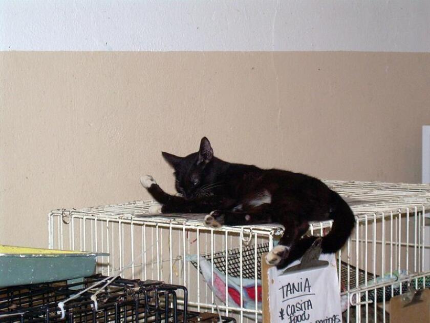 Un gato descansa encima de una jaula antes de esterilizarlo. EFE/Archivo