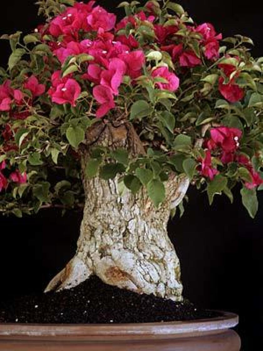 Bonsai Bougainvillea It Can Be Done Los Angeles Times