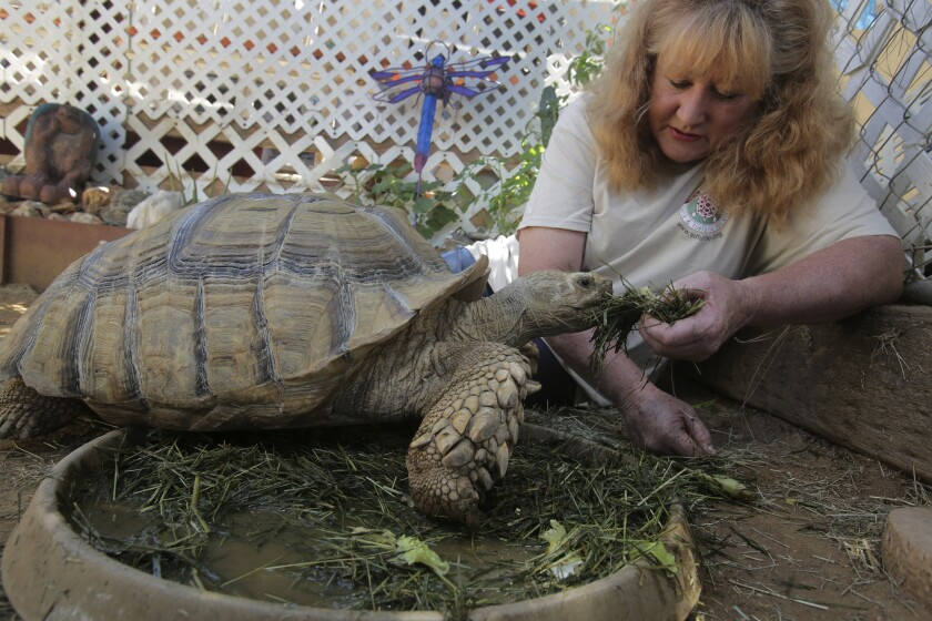 """Teresa O'Donnell, the new """"care consultant"""" for the San Diego Turtle & Tortoise Society, feeds her Sulcata tortoise."""