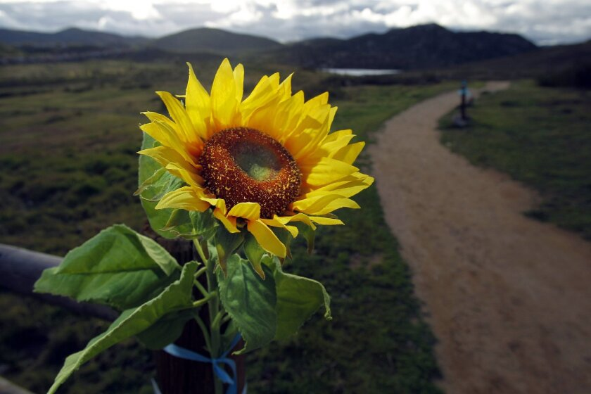 In a 2011 photo, a sunflower was placed at the trailhead in Rancho Bernardo Community Park to mark one year after Chelsey King's death. Rancho Bernardo pitcher Parker Bugg is conducting a program to benefit the Chelsea's Light Foundation.