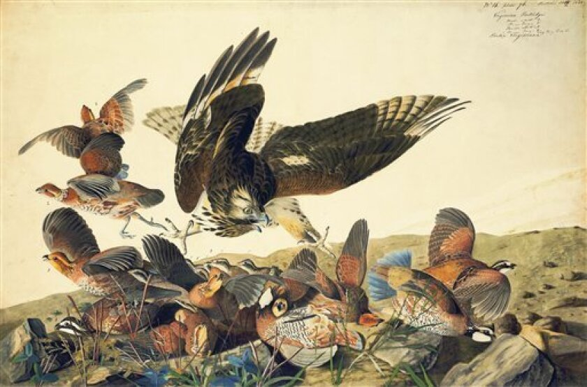 """This ca. 1825 image provided by the New-York Historical Society of a Red-shouldered Hawk attacking Northern Bobwhites is one of 474 bird watercolors by John James Audubon in the collection of the New-York Historical Society, which is mouting three exhibitions of all of its Audubon images over three years. The 474 watercolors include 435 that were engraved for Audubon's monumental """"The Birds of America."""" It's considered the greatest book of printed engravings ever produced. The first group went o"""