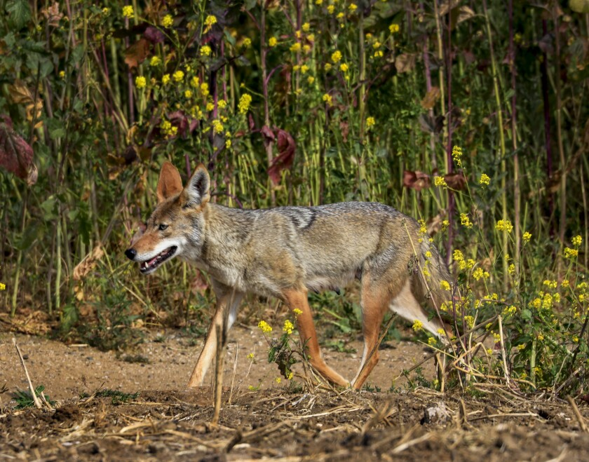 A file photo shows a coyote patrolling his turf in Fairview Park in Costa Mesa