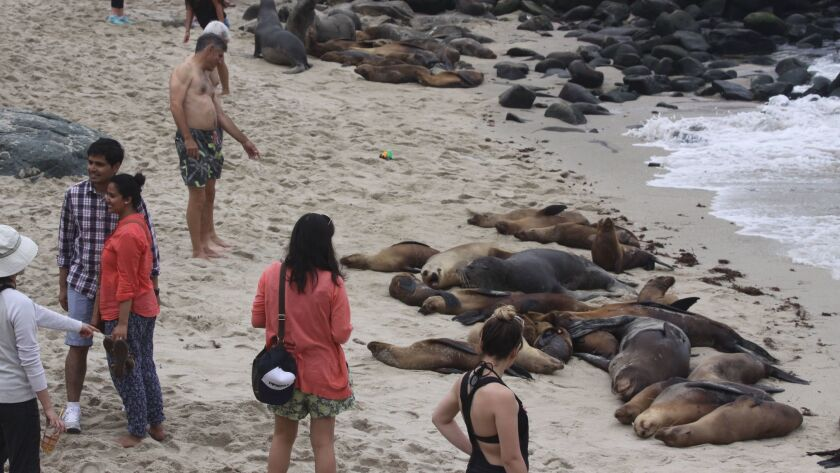 A San Diego City Attorney opinion suggests organizations such as La Jolla Town Council cannot be the authorized entity to deter sea lion congregation at La Jolla Cove.