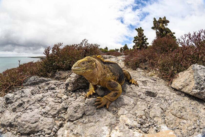 A land iguana in the Galapagos Islands. Such species living near the equator face the most immediate threat from climate change, scientists found.