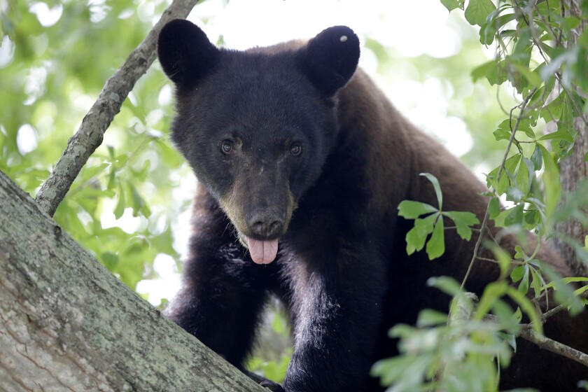 """FILE - In this May 17, 2015, file photo, a Louisiana black bear, sub-species of the black bear that was protected under the Endangered Species Act, is seen in a water oak tree in Marksville, La. A federal judge in Washington has thrown out a lawsuit on Friday, Feb. 7, 2020, seeking to return federal protection to the real bears that inspired teddy bears. The people and environmental groups who sued in 2018 didn't provide any evidence to back up their claims that they would be hurt by the decision to remove Louisiana black bears from the """"threatened"""" list, wrote District Judge John Bate. (AP Photo/Gerald Herbert, File)"""