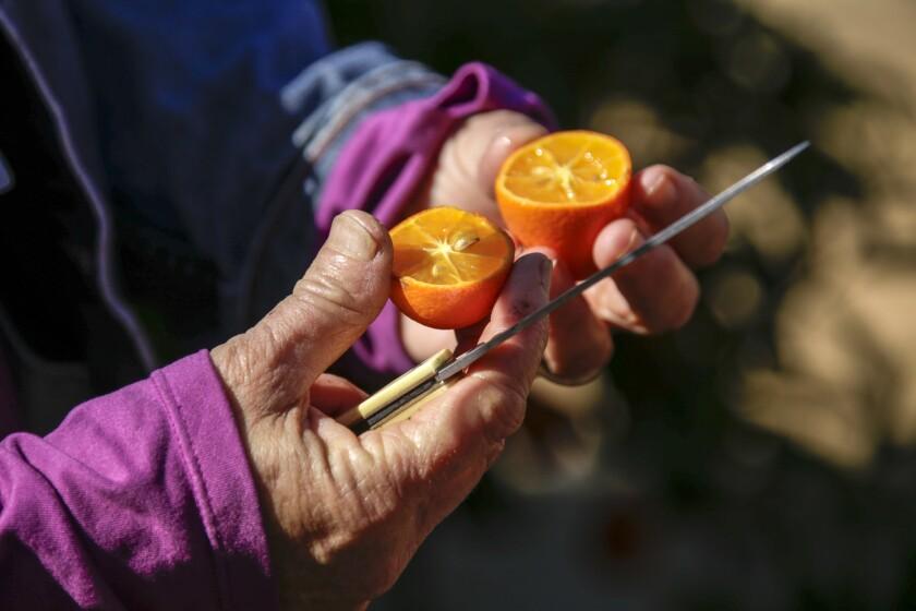 UC Riverside's citrus collection
