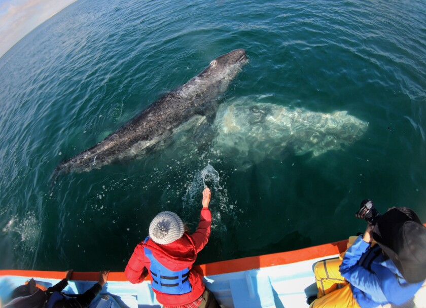 A person reaches a hand out to a whale as a photographer takes photos