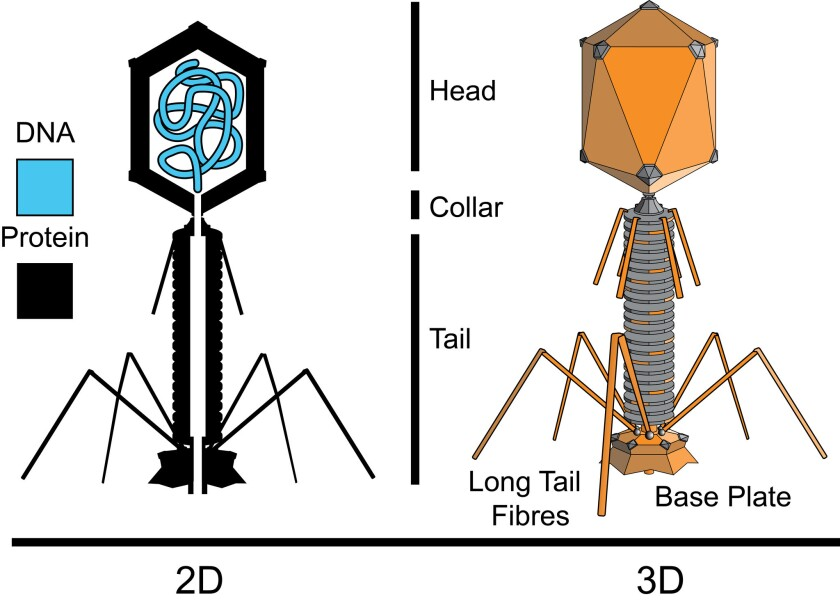 The structure of a typical myovirus bacteriophage, illustrating the protein surface and DNA stored in the interior of its head.