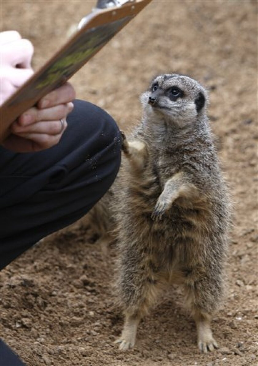 A meerkat investigates a clipboard during the annual animal count at London Zoo in London, Thursday, Jan. 8, 2009. A complete head count of every animal, insect and bird living at the zoo is to take place, with more than 650 different species to tally up.(AP Photo/Kirsty Wigglesworth)
