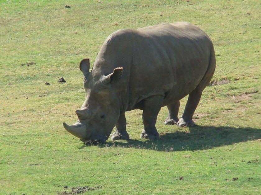 Angalifu, a rare northern white rhino, has died at the San Diego Zoo Safari Park.