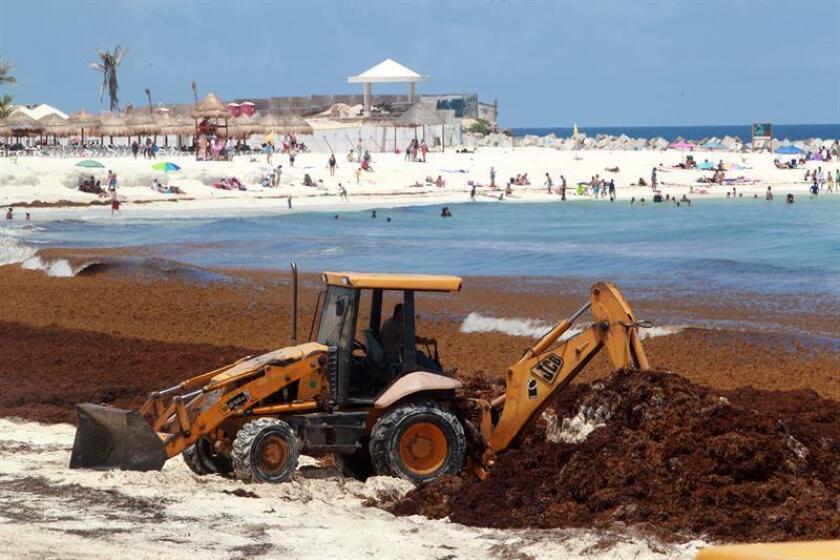 Fotografía de la remoción de sargazo el 3 de agosto de 2018, en el centro de recreo de Cancún, en el estado de Quintana Roo (México). EFE/Archivo