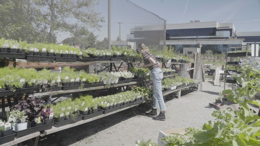 L.A. Times video journalist Claire Hannah Collins shops for herbs at the Marina del Rey Garden Center.