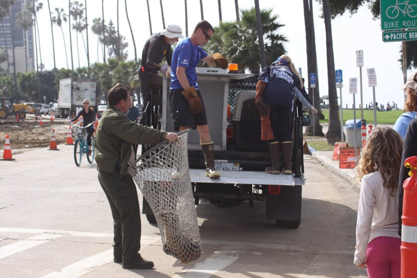 SeaWorld employees rescue a sea lion pup 2 p.m. Friday, Feb. 20 at La Jolla Cove with help from Shoreline Park Ranger Parish Rye.