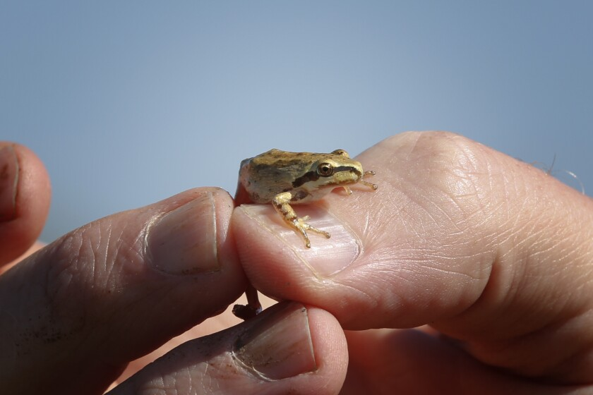 A biologist holds up a Baja California treefrog that was near one of the vernal pools.