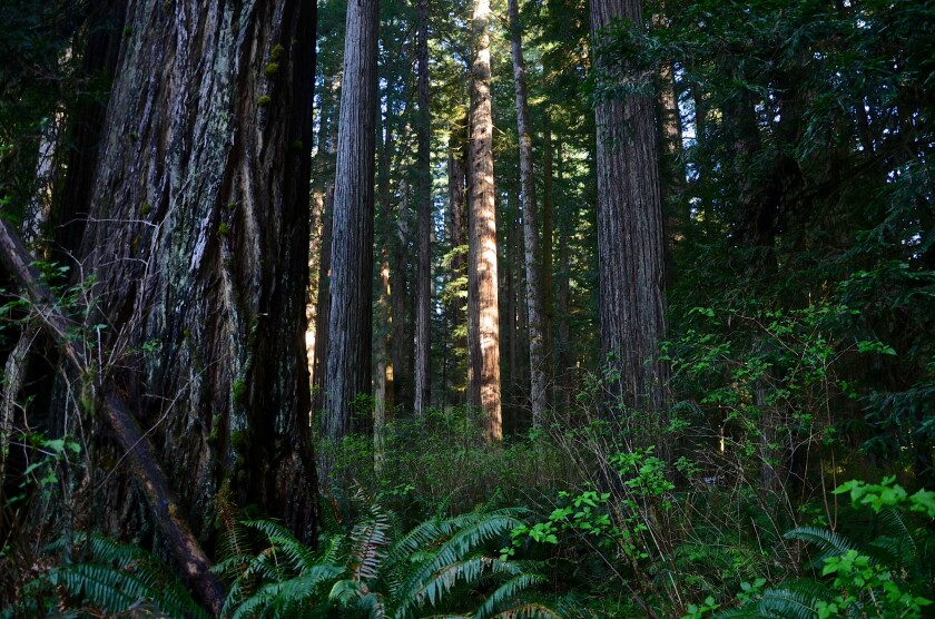 Prairie Creek Redwoods State Park is also part of Redwood National Park in northern California.