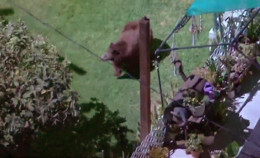 A bear was seen roaming a residential area of Eagle Rock Tuesday night.