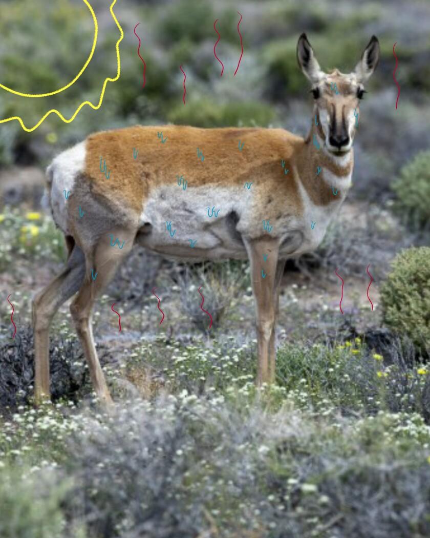 Female pronghorn in the Mojave Desert