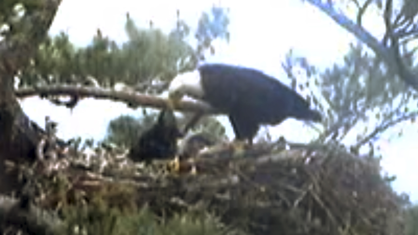 A baby eagle died over the weekend at a nest monitored by a webcam.