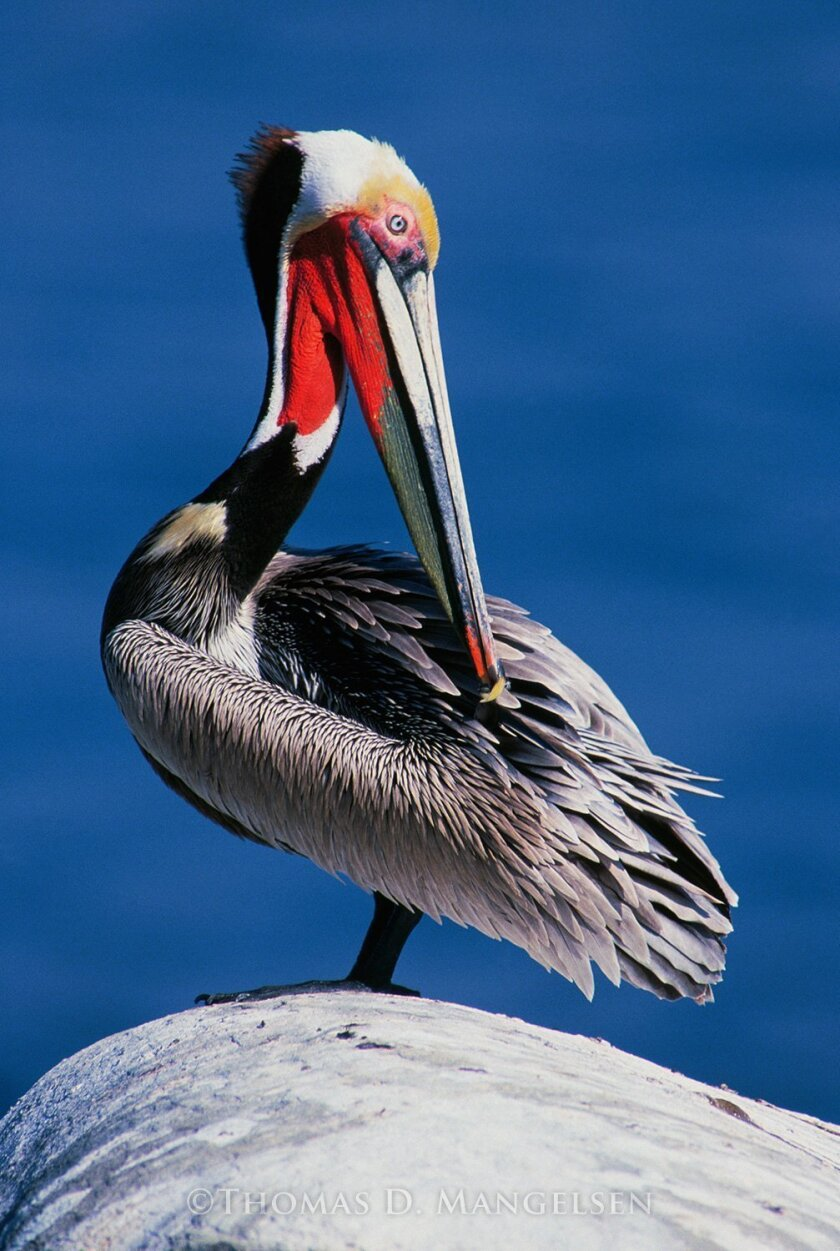 'Colors of the Spring' (Pelican) by Thomas Mangelsen, La Jolla Cove (1990). Courtesy photos