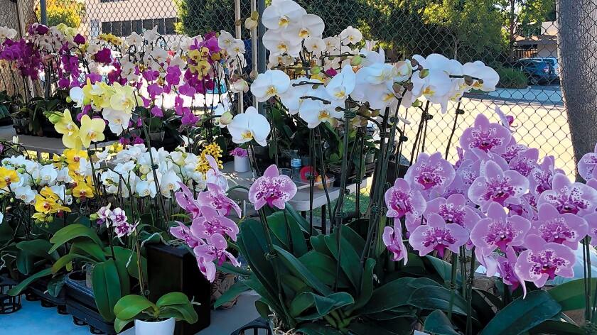 La Jolla Open Aire Market 2019 Flowers Orchids-jpg.jpg