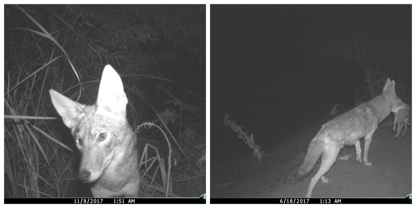 Photos were taken of coyotes, pictured here, and other animals passing through the Irvine Spectrum Wildlife Corridor over almost two years.