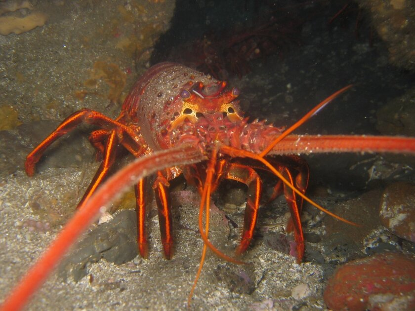 California spiny lobsters are the subject of a study by San Diego scientists and lobstermen to assess the impact of marine reserves on sealife.