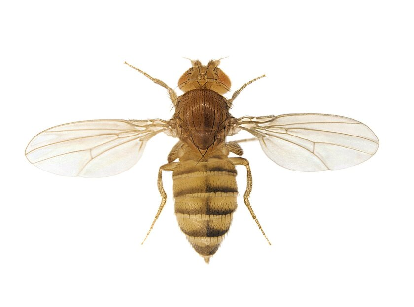 A rare fruit fly in which the left half has been mutated by the new gene editing method, while the right half remains normal.