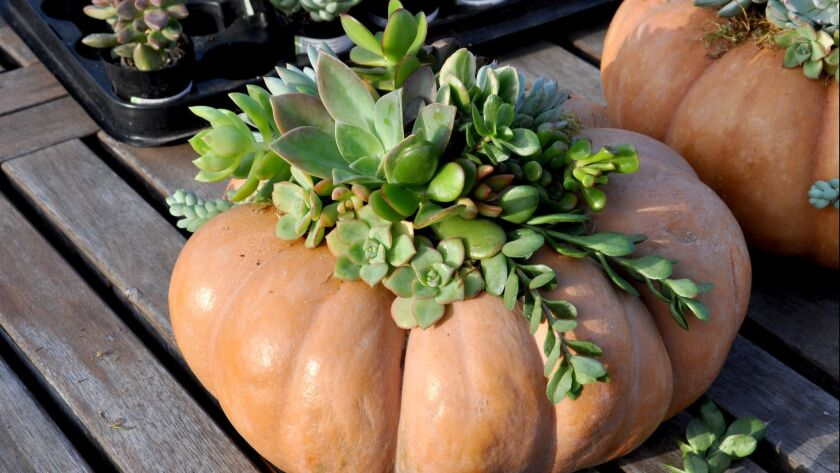 "Fall Plant Sale from South Coast Botanic Garden. The ""pave' pumpkin,"" that is a pumpkin or gourd den"