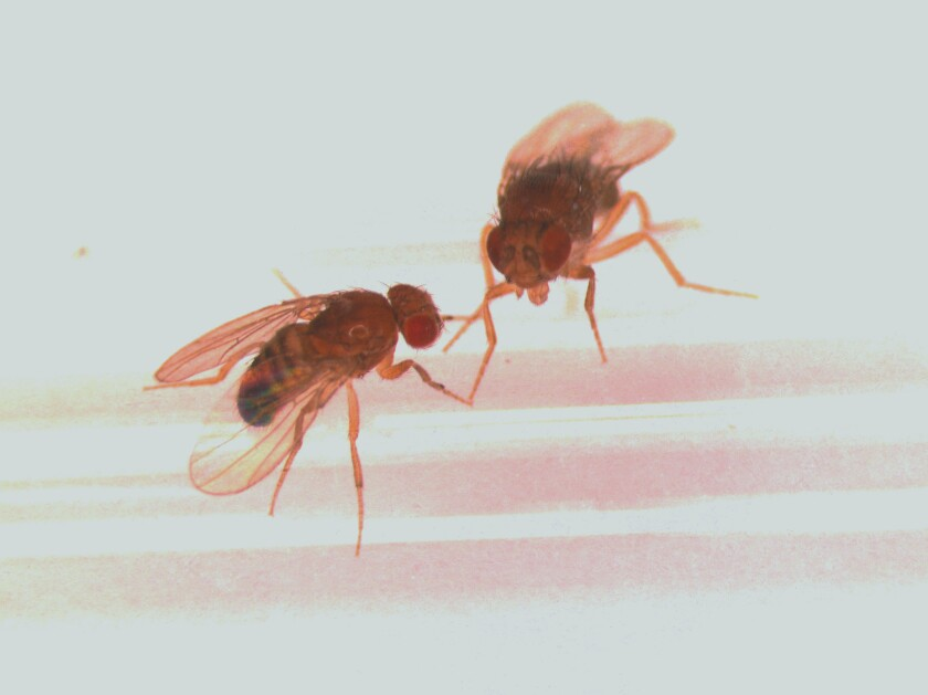 A male fruit fly, left, greets a female