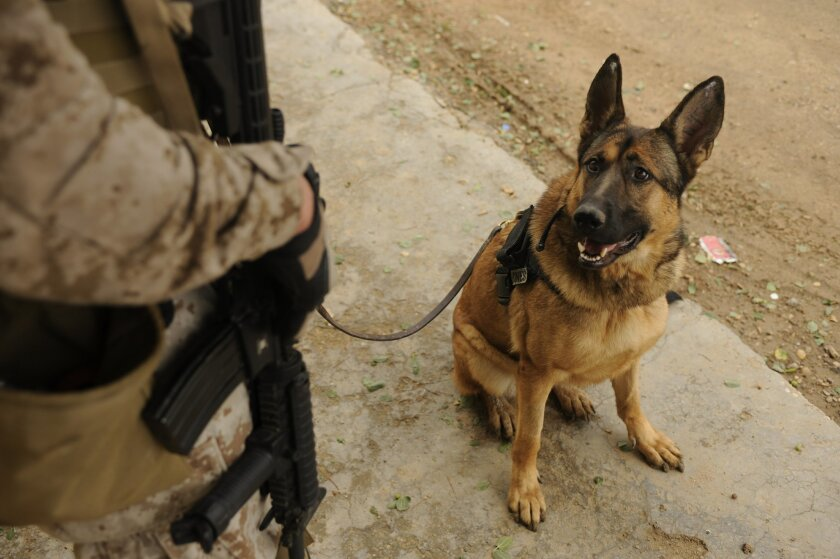 "Lucca and his handler, Marine Staff Sgt. Chris Willingham, during ""cordon and knock"" operations in Afak, Iraq, on Nov. 30. / photo by Senior Airman Eric Harris * U.S. Air Force"