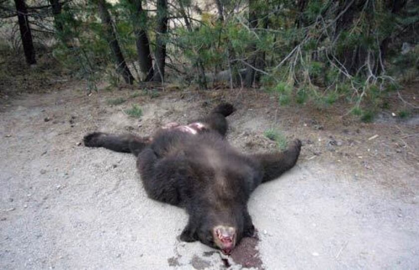 A black bear was struck and killed on State Highway 89 near Lake Tahoe on Monday. Volunteers with the BEAR League say they found the animal cut open the following day.