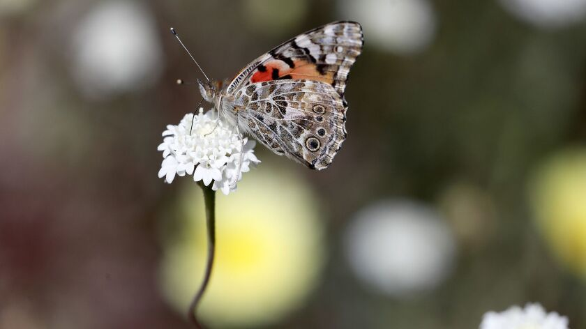 BORREGO SPRINGS, CALIF. - MAR. 13, 2019. A butterfly clings to a wildflower in Coyote Canyon at Anz