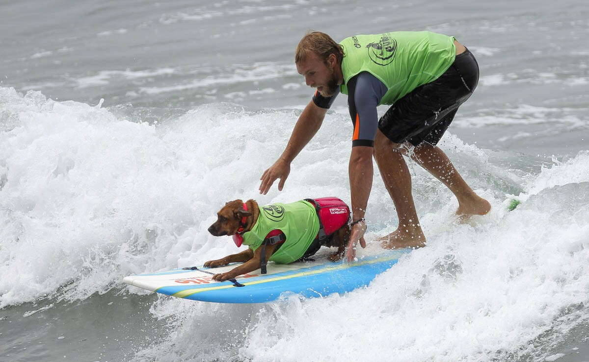 Man and dog ride a wave while competing in the dog/human tandem competition during the 2017 Imperial Beach Surf Dog competition at Imperial Beach on Saturday, July 29, 2017. (Hayne Palmour IV/Union-Tribune)