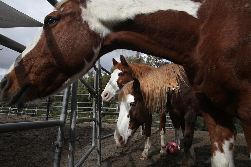 Laughing Pony Ranch horse rescue