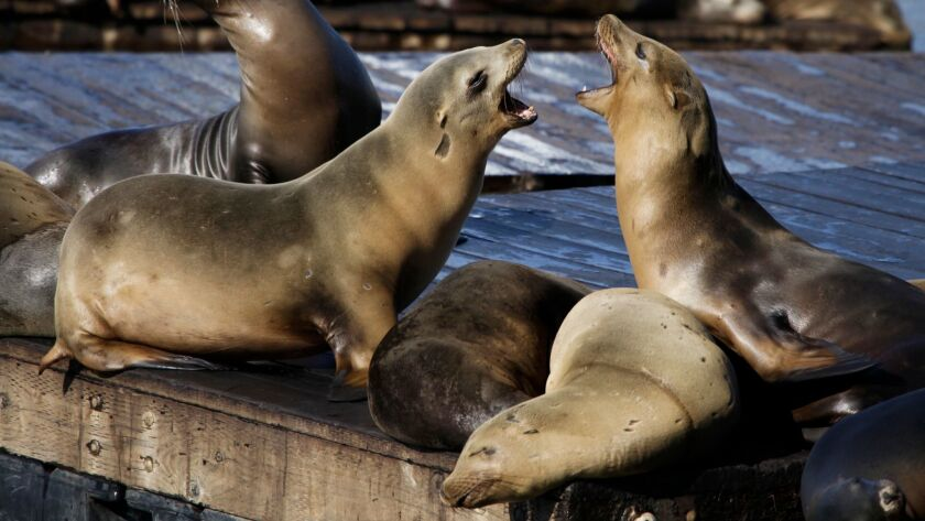A third attack by a sea mammal in San Francisco in a week has prompted officials to ban swimming in the Aquatic Park Cove. In this Oct. 15, 2010, file photo, sea lions bark at each other at Pier 39 in San Francisco, which is east of Aquatic Park Cove.