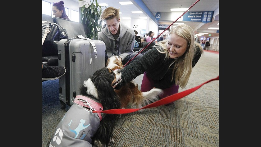Garrett, 15, and Kaylyn Yawn, 21, of Moorpark, pet Cavalier King Charles spaniels Miss King Charles and Zoe at Hollywood Burbank Airport on Dec. 19,