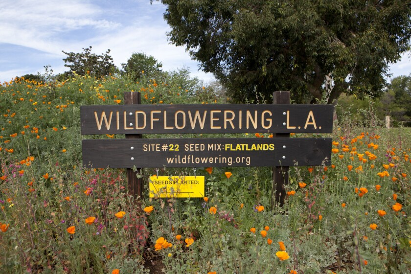 L.A. artist Fritz Haeg set out to create a natural, native landscape of Los Angeles. The result is his project, Wildflowering L.A. Pictured is the wildflower meadow at Arcadia's L.A. Arboretum, which is participating in the project.