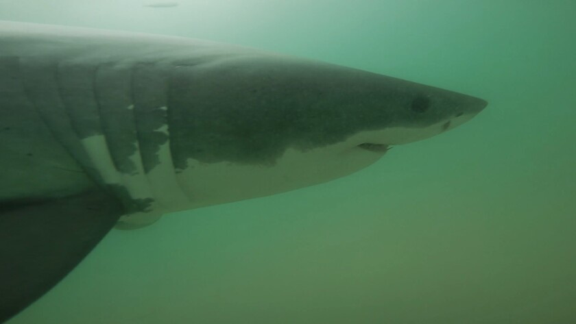 Juvenile white sharks captured by Remote Underwater Video Systems (RUVS) in summer 2015 of Manhattan