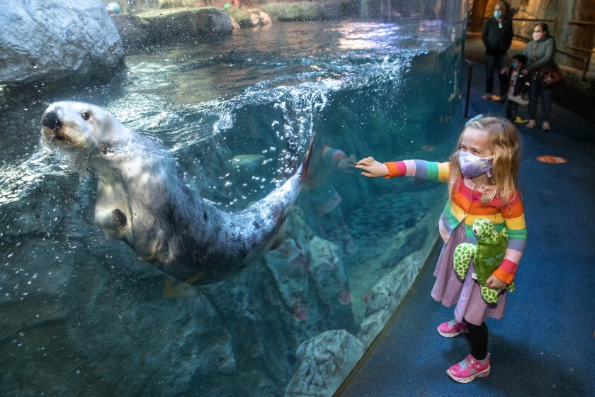 A masked child looks at the otter tank at the Aquarium of the Pacific.